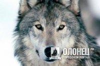 Волков поймали