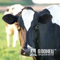 Конкурс лучших специалистов по осемениению коров