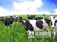 В Пряже все коровы здоровы