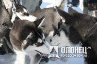 В Пряже пройдут гонки на собачьих упряжках